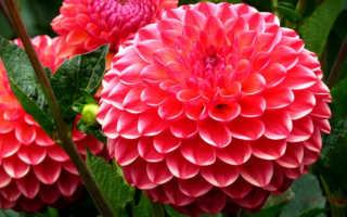 Как прорастить георгины дома, чтобы стимулировать раннее цветение