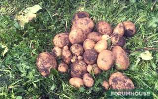 Как сажать картошку не пророщенную картошку