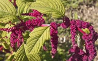 Амарант — обычный сорняк становится лекарством