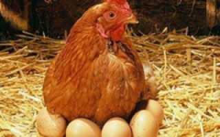 Как кормить курей, чтобы несли много яиц: советы бывалых