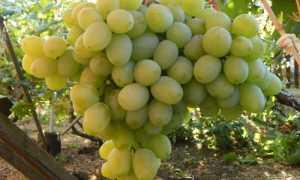 Виноград культурный 'Бируинца' — описание сорта, характеристики