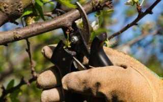 Как правильно проводить обрезку войлочной вишни веной