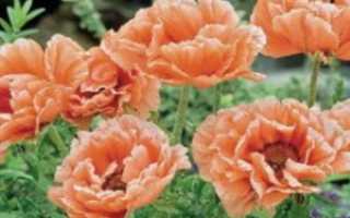 Гиломекон (Лесной мак) – описание, размножение, уход, посадка, фото, применение в саду, сорта и виды