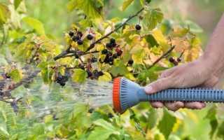 Как производить полив смородины