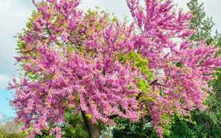 Дерево церцис – посадка и уход в Подмосковье, обрезка, видео