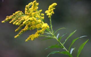 Золотая розга в народной медицине и декоре сада