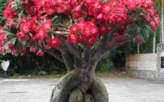 Адениум в домашних условиях: виды, посадка и уход, болезни и вредители растения. Как сплести косичку и создать яркую композицию из разных сортов? (60+ Фото)