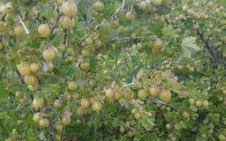 Все о крыжовнике обыкновенном: тип листа, как выглядит ягода, другое название
