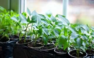 Как правильно вырастить рассаду перца в домашних условиях? Советы по подбору тары и почвы, уход за молодыми побегами