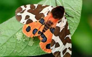 Бабочка медведица и ее наиболее часто встречающиеся разновидности