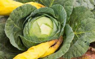 Благоприятные дни для уборки капусты в 2020 году для зимнего хранения