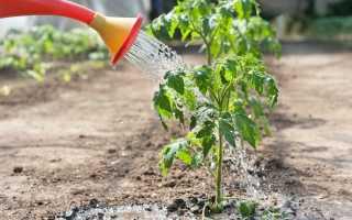Как правильно поливать помидоры после посадки и в период созревания?