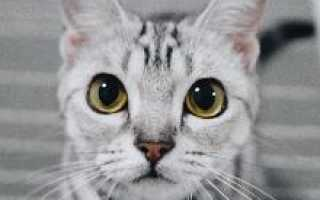 Американская короткошерстная кошка — описание породы и характер