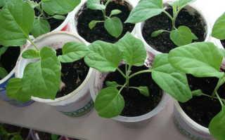Как получить хороший урожай баклажанов? Чем подкормить рассаду?