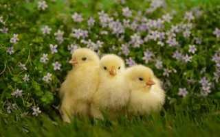 Зелень в рационе цыплят. Когда, как и с какого дня можно давать птице траву