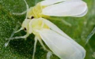 Виды граната: комнатный Бейби и не только, описание, выращивание из семян + фото