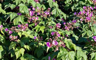 Выращивание малиноклена – посадка уход и размножение