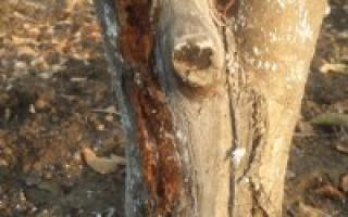 Как прививать плодовые деревья мостиком