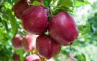 Как заложить яблоневый сад, сорта долговечных яблонь, подвои