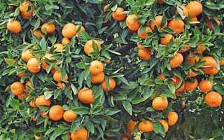 Как вырастить мандарин на даче + Видео