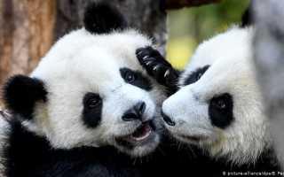 В Берлинском зоопарке у панд впервые появились дети