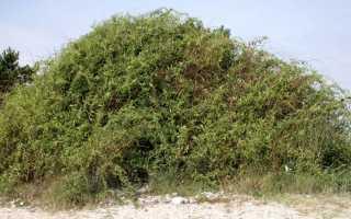Дереза – многолетний кустарник семейства Пасленовых