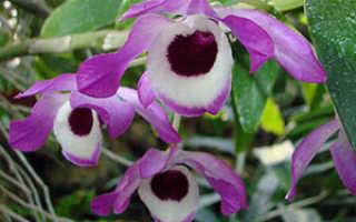 Дендробиум монилиформе (Dendrobium moniliforme) — описание, выращивание, фото