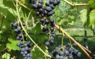 Виноград хасанский сладкий описание сорта фото отзывы