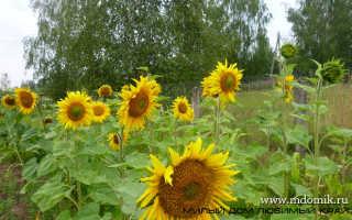 Как высушить семена подсолнечника в домашних условиях