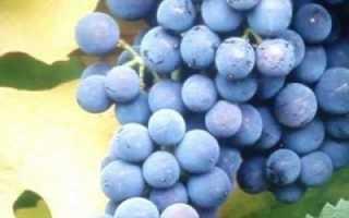 Виноград Голубок: что нужно знать о нем, описание сорта, отзывы