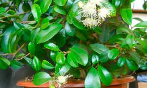 Евгения одноцветковая (Eugenia uniflora) — описание, выращивание, фото