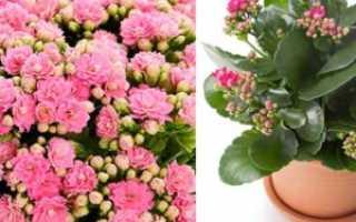Как вырастить здоровый и красивый цветок каланхоэ