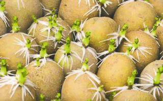Как и чем обработать картофель перед посадкой от вредителей и болезней: обработка медным купоросом, марганцовкой, Фитоспорином