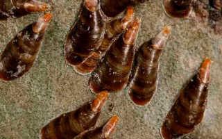 Вредители персика – как бороться со щитовкой, обработки, видео