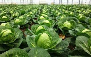 Как правильно собирать урожай капусты и определить её созревание