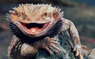 Бородатая агама – фото, описание, ареал, питание, враги, размножение