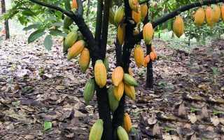 Как вырастить дерево какао