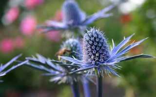 Как вырастить синеголовник из семян? Размножение. Фото