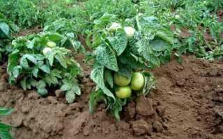Всё о томатах сорта Клуша: главные характеристики и секреты выращивания