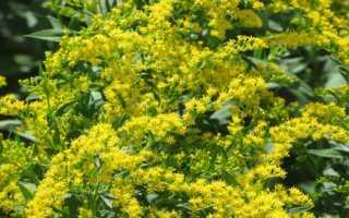 Золотарник Жозефина: описание растения, особенности выращивания, видео