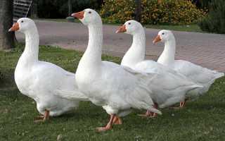 Датская порода гусей Мамут: содержание и разведение, Фермерское птицеводство