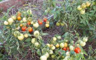 Выращивание томата Видимо-невидимо