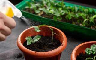 Как поливать рассаду в домашних условиях