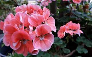 Болезни герани: листья и цветы опадают, зелени мало, мелкая, чернеет, не растёт и почему это бывает, что делать