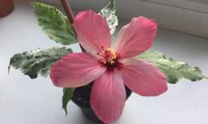 Гибискус пестролистный: условия выращивания и методы размножения