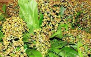 Анселлия (Ansellia) — описание, выращивание, фото