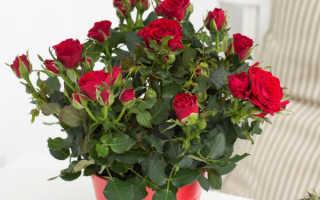 Домашние розы в горшках: полив, подкормка, размножение и уход