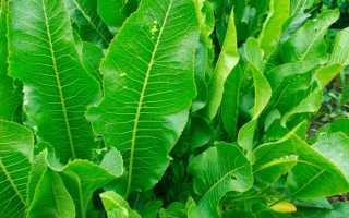 Выращивание хрена: посадка, уход, борьба с вредителями