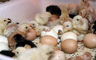 Вентиляция инкубатора: как влияет на вывод птенцов, как сделать самому