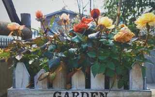 Видео 11. Подготовка роз к зиме – описание, размножение, уход, посадка, фото, применение в саду, сорта и виды